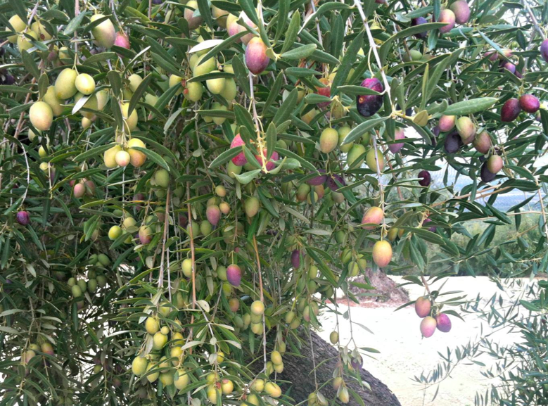 olivo alove
