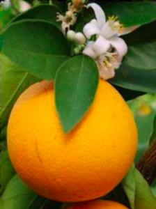 naranja apivita